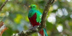 Quetztal grün Panama