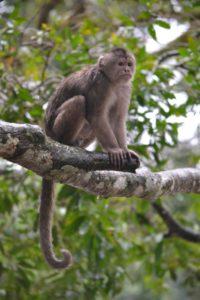 Kapuziner Affe_Ecuador_Reise_mit_Familie