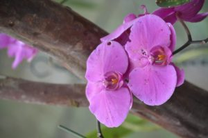 Orchidee_lila_Ecuadorreise
