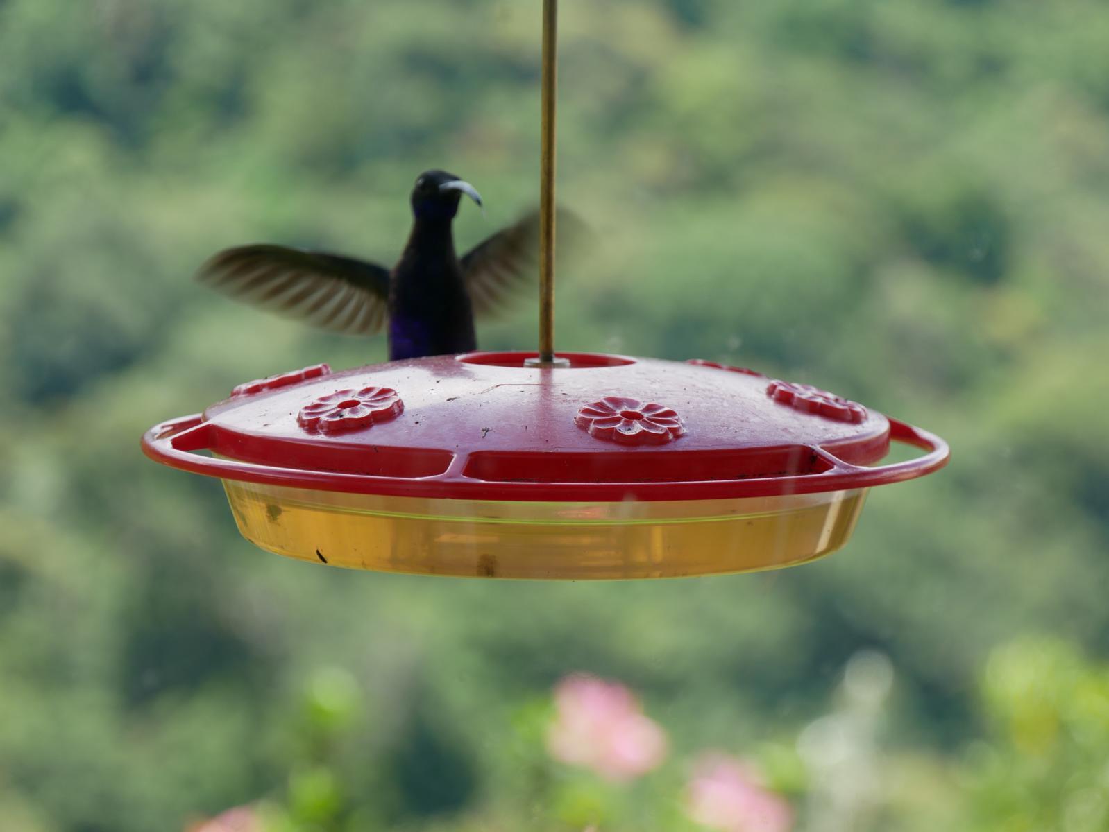 Panama Reise Colibri