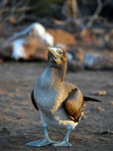 Blaufußtölpel_Galapagos Inseln