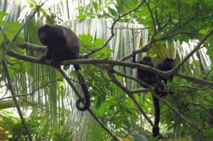 Brüllaffe Regenwald Costa Rica Reise