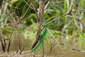 Eidechse in Costa Rica Pedacito de Cielo