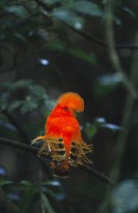 Cock of the Rock Guyana Reise